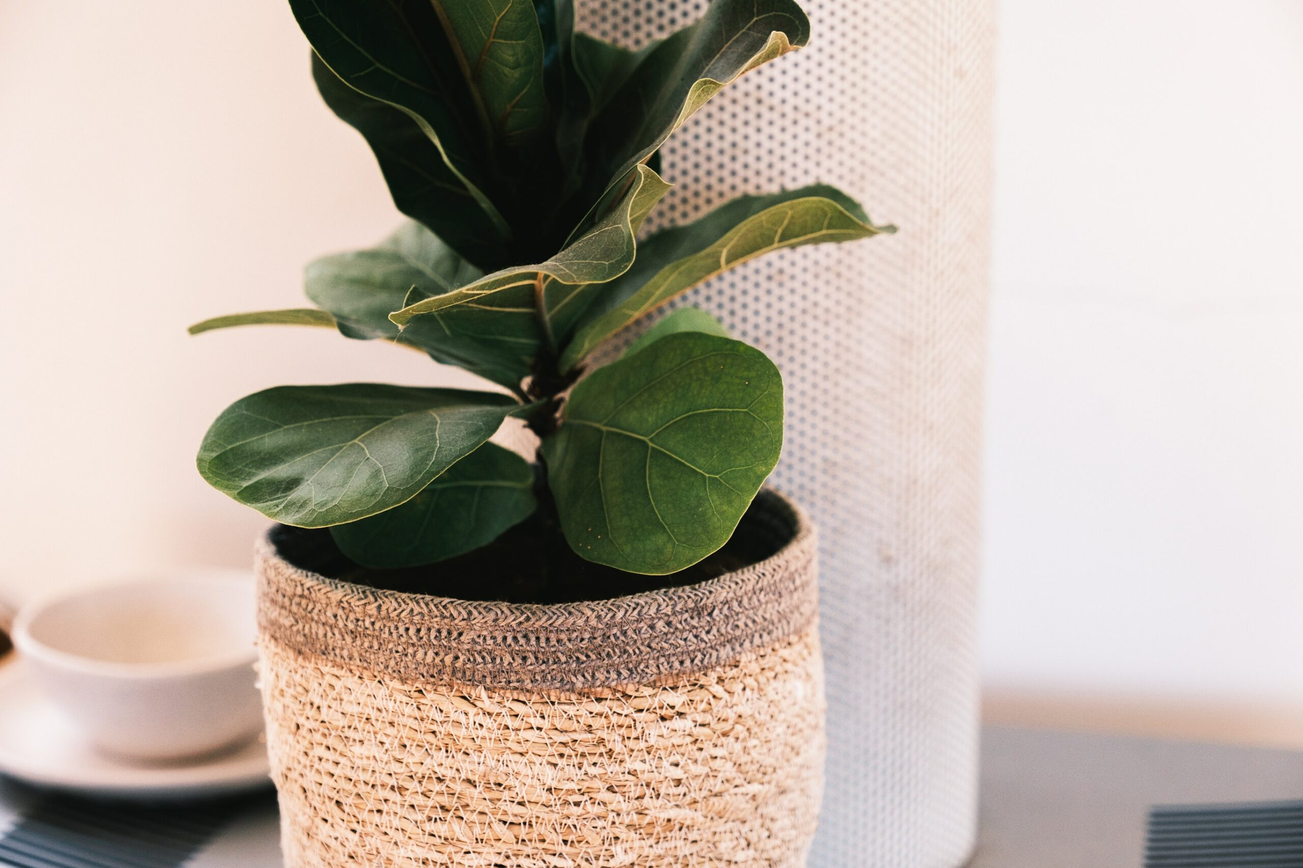 Fiddle Leaf Fig - the Best Plants to Use in Modern Interior Design